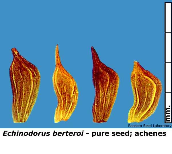 Echinodorus-ber-pure-seed.jpg