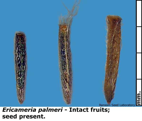 Ericameria-palmeri-filled-6.jpg
