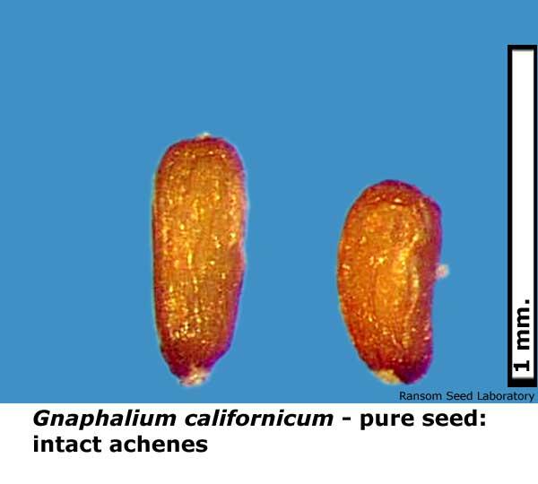 Gnaphalium-calif-pure-seed.jpg