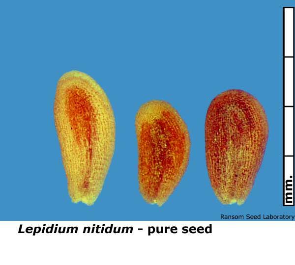 Cirsium-scar-seed-present.jpg