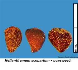 Eleocharis-mac-intact-fruit.jpg