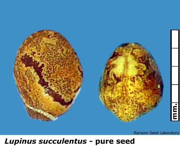 Amorpha-cal-pure-seed.jpg