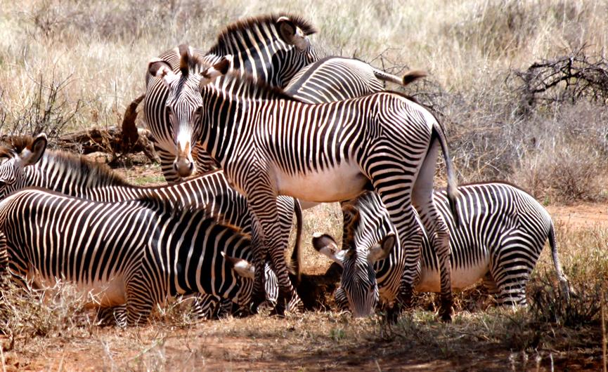 Zebras-group.jpg