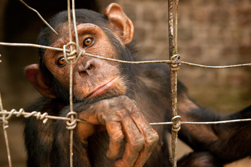 Baby-Chimp-Photoshoped.jpg