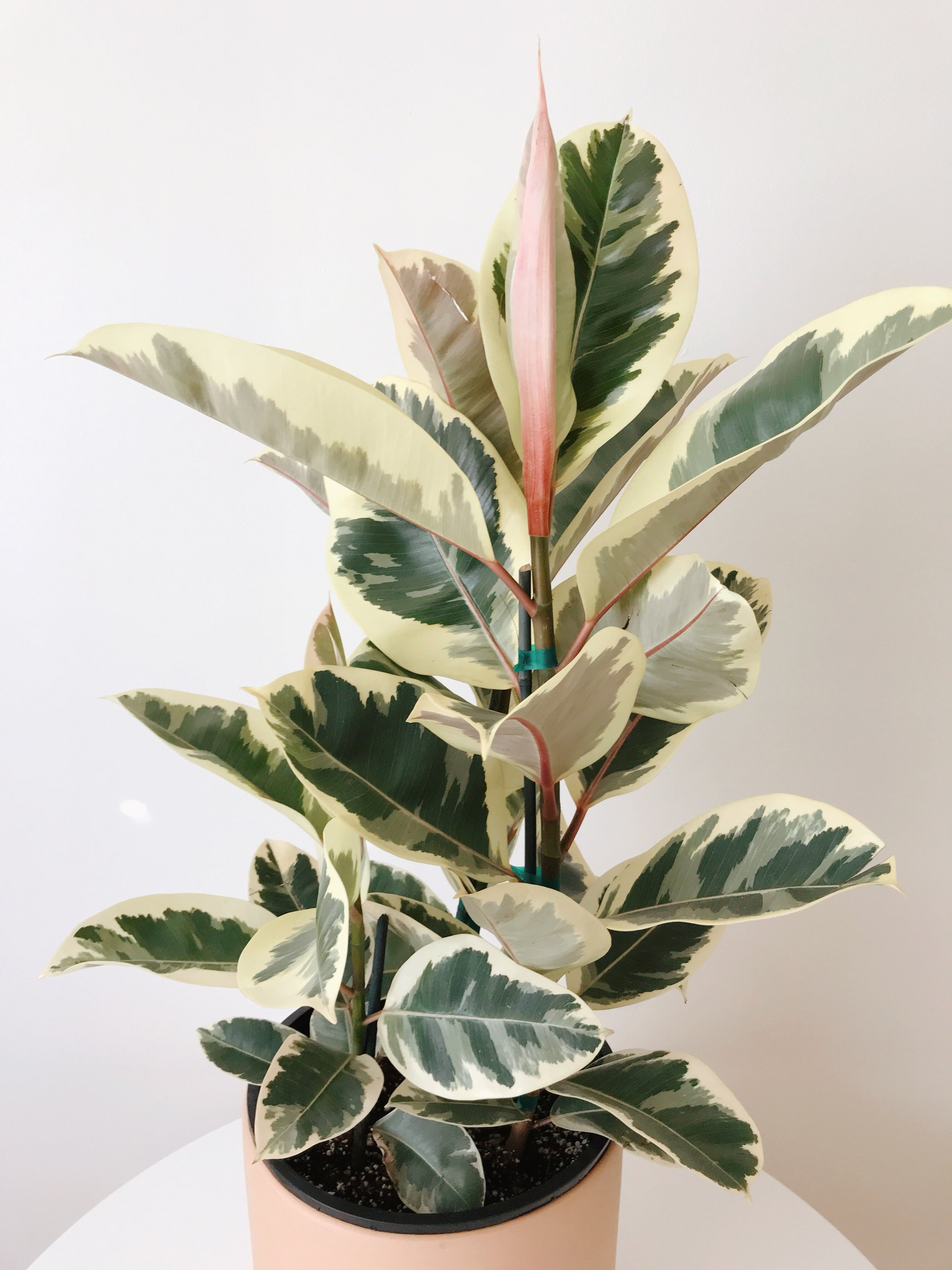 Variegated Ficus elastic and terra cotta cylinder from  Mickey Hargitay Plants