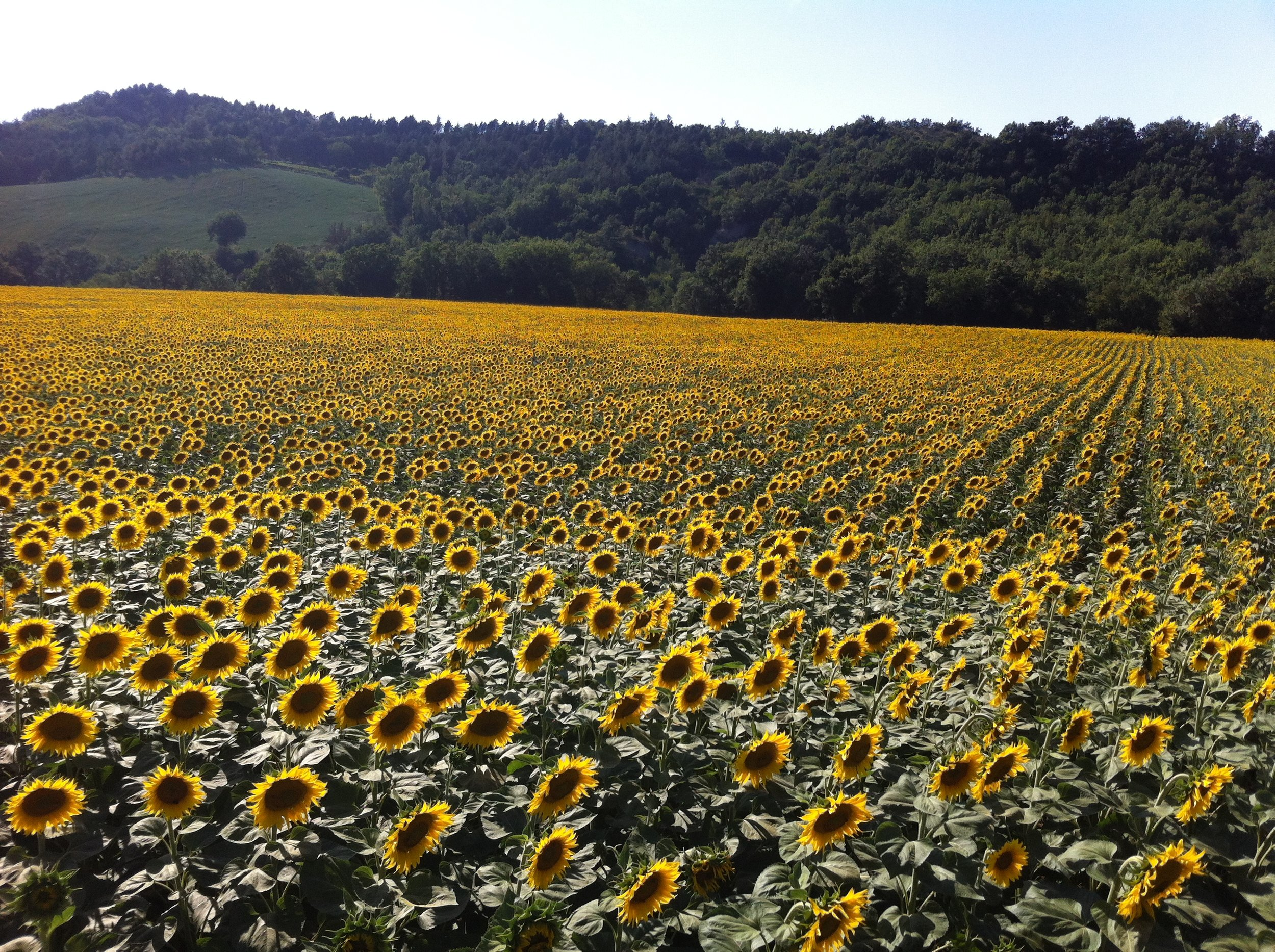 Sunflower Hunt - This tour features a portrait and custom photo shoot is an iconic sunflower setting. You'll be swept away by the fields of sunflowers blooming in vibrant yellow and orange colors.