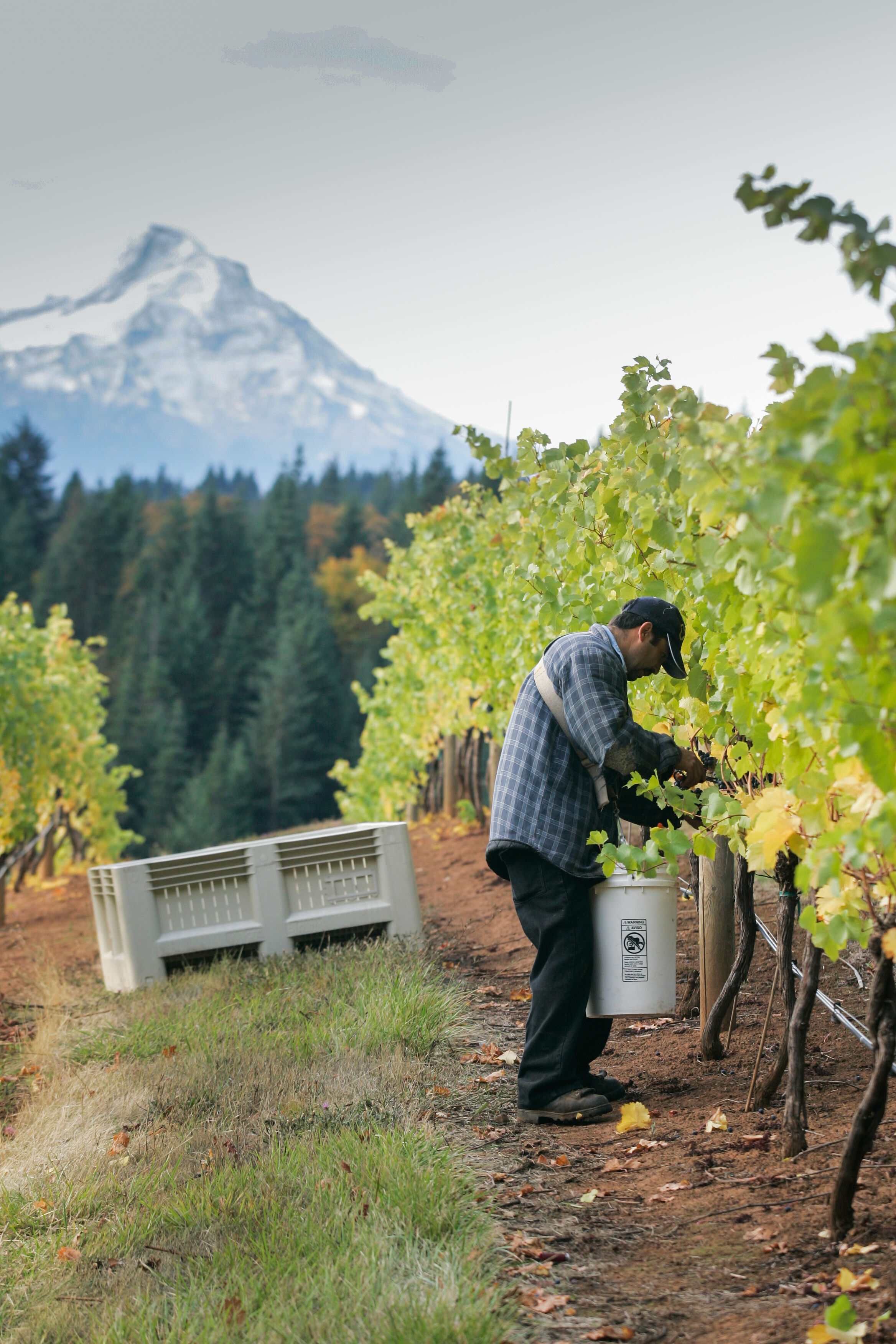 Image: Harvest Team picking grapes with Mt. Hood in Background