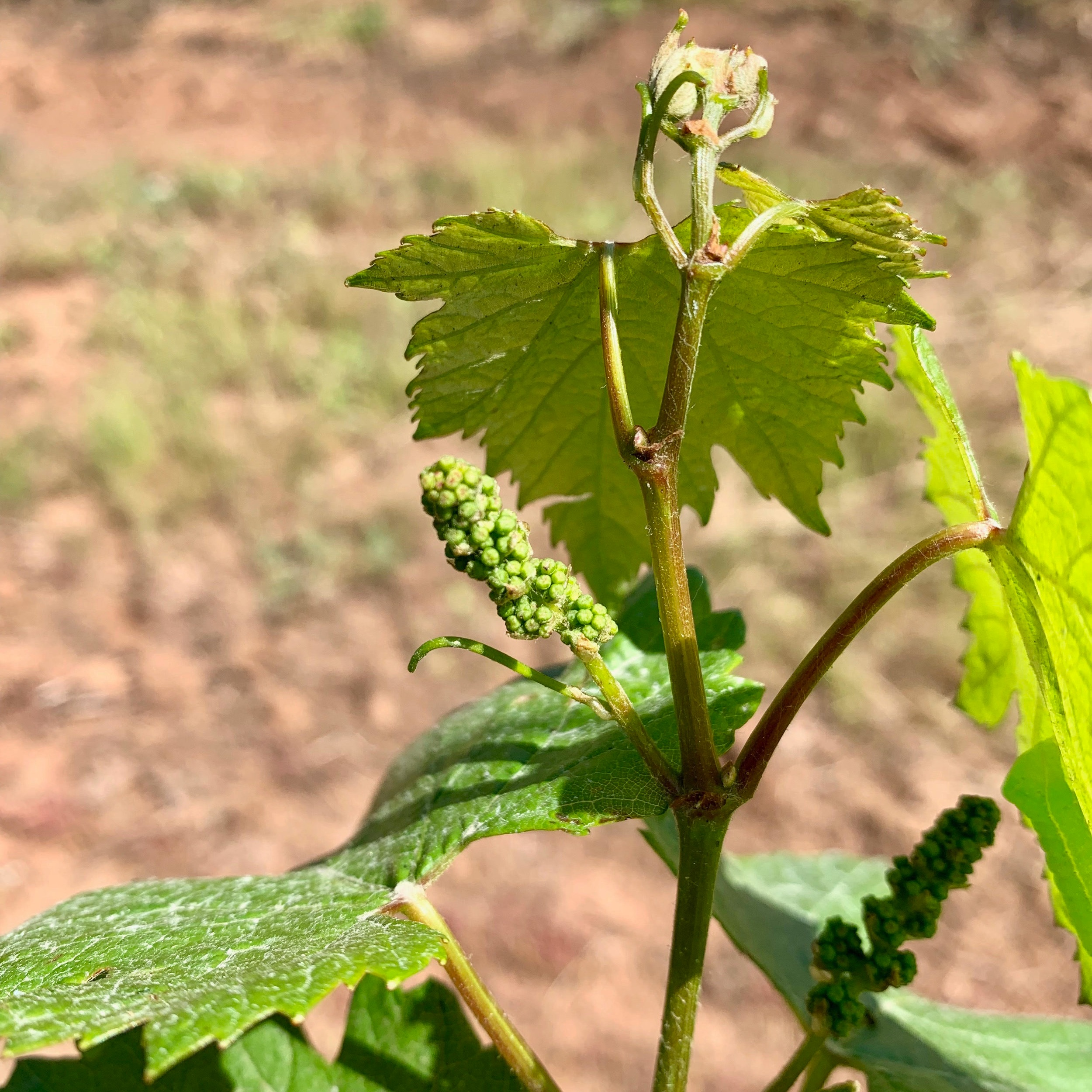 Phelps Creek Vineyards - bud break.jpg