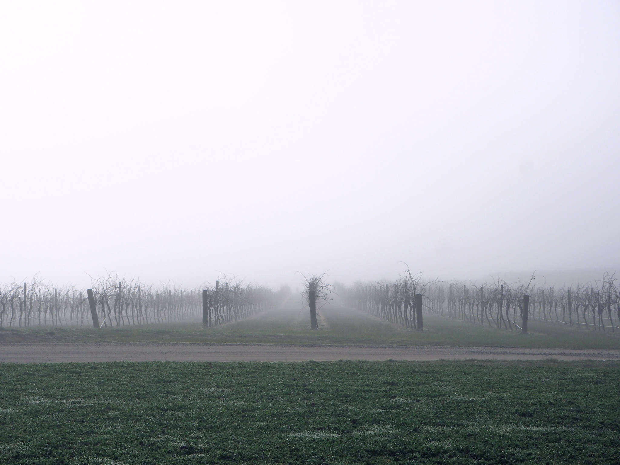 winter foggy vineyard.jpg