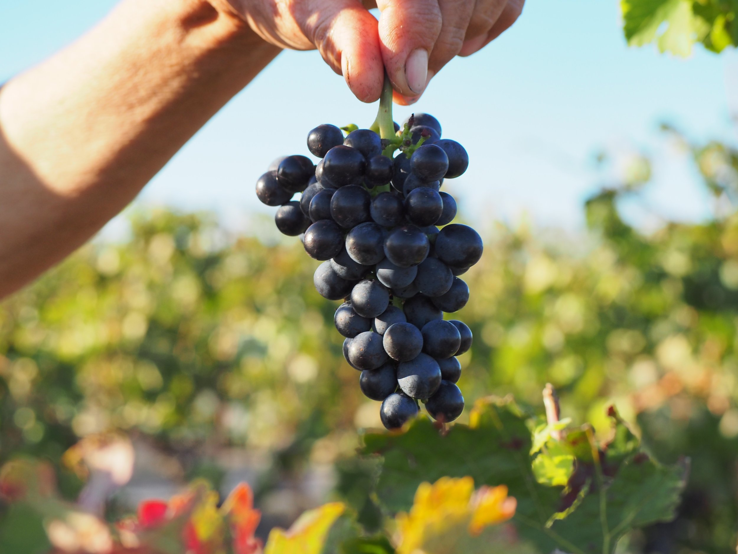 grapes and hands ben haines wine.jpg