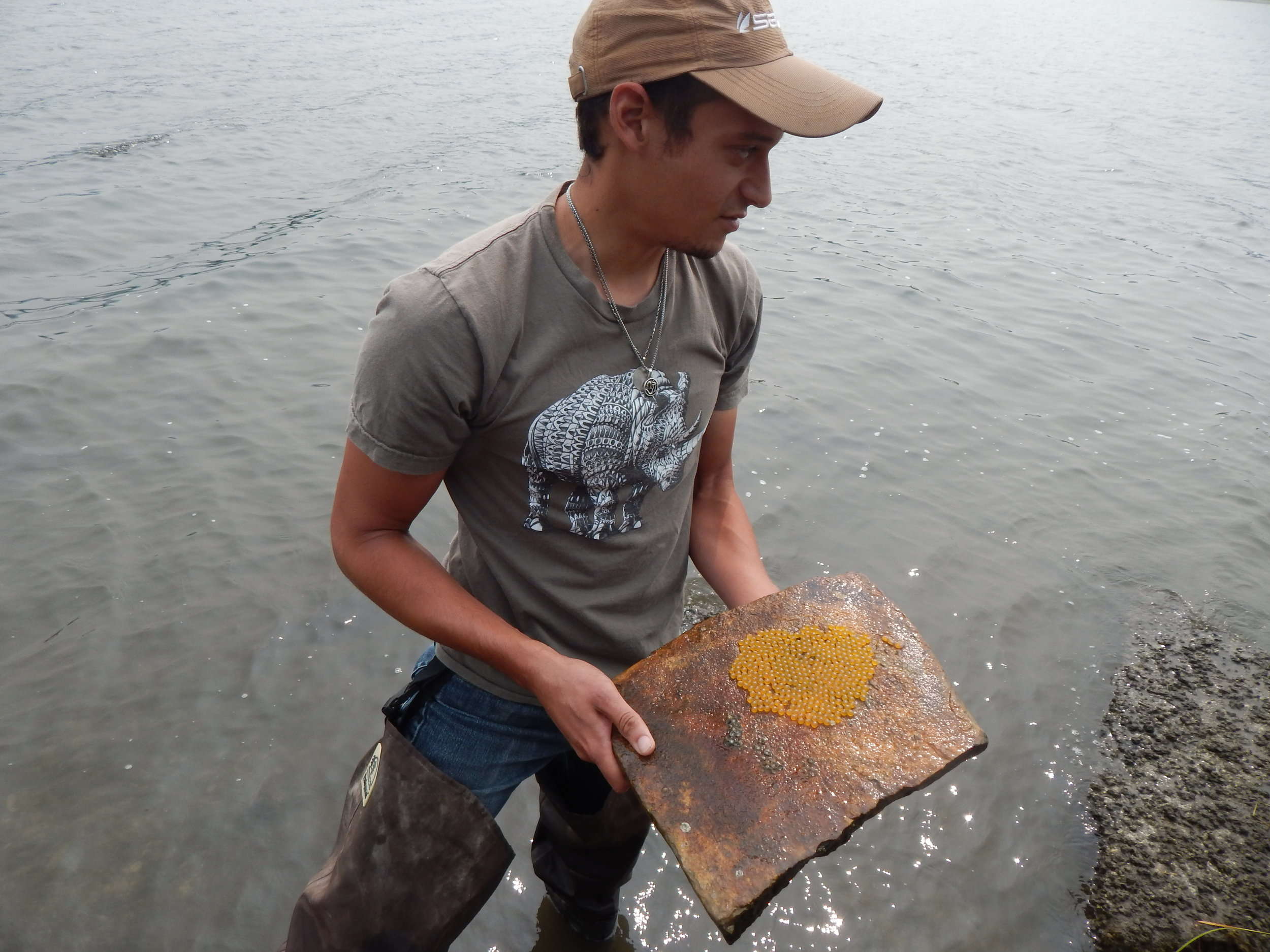 Holding a tile with plainfin midshipman eggs at an intertidal zone in British Columbia, Canada (photo credit: Shyamal Bose)