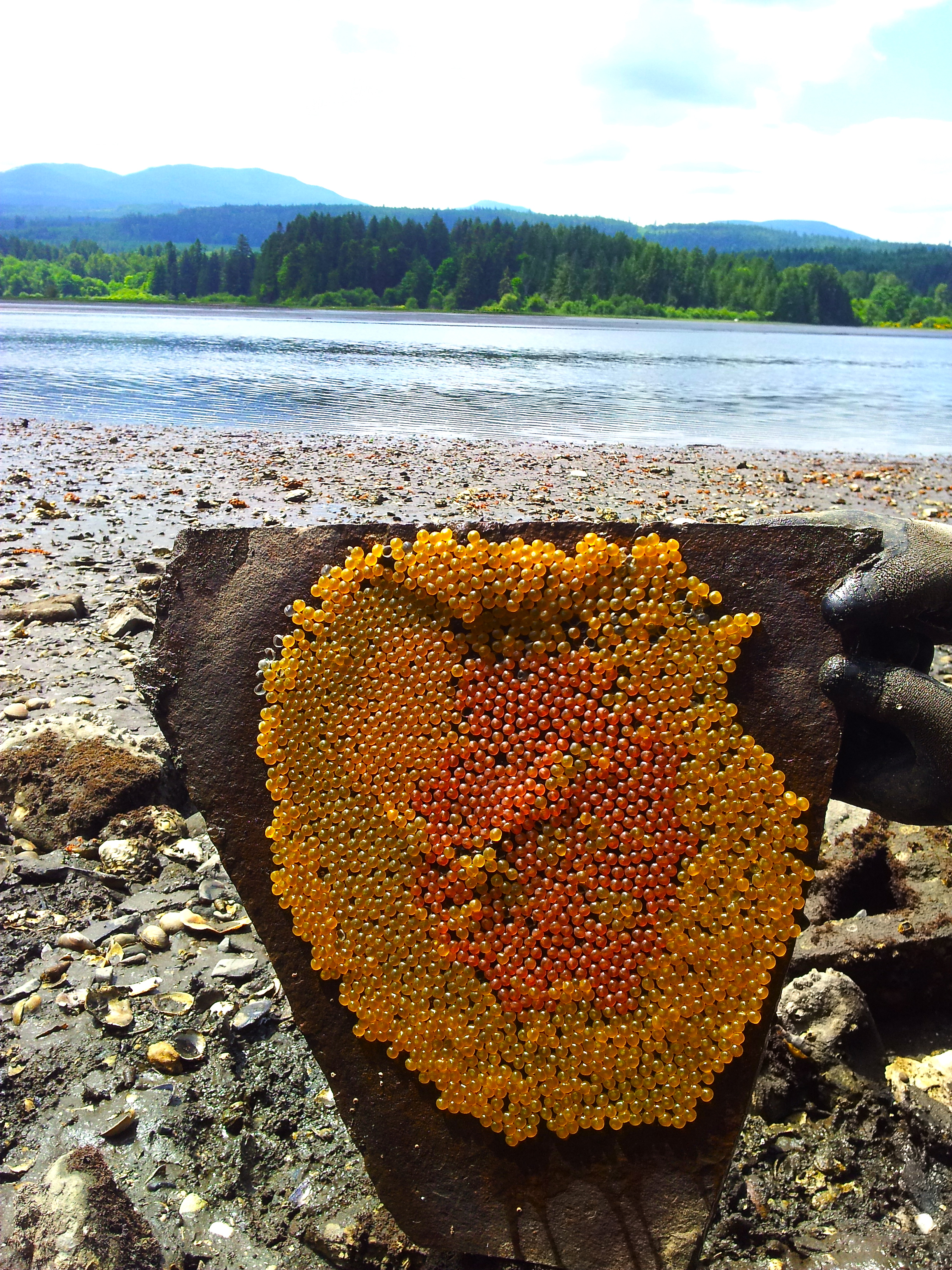 Plainfin midshipman fish eggs on a tile in an intertidal zone in British Columbia (photo credit: Aneesh Bose)