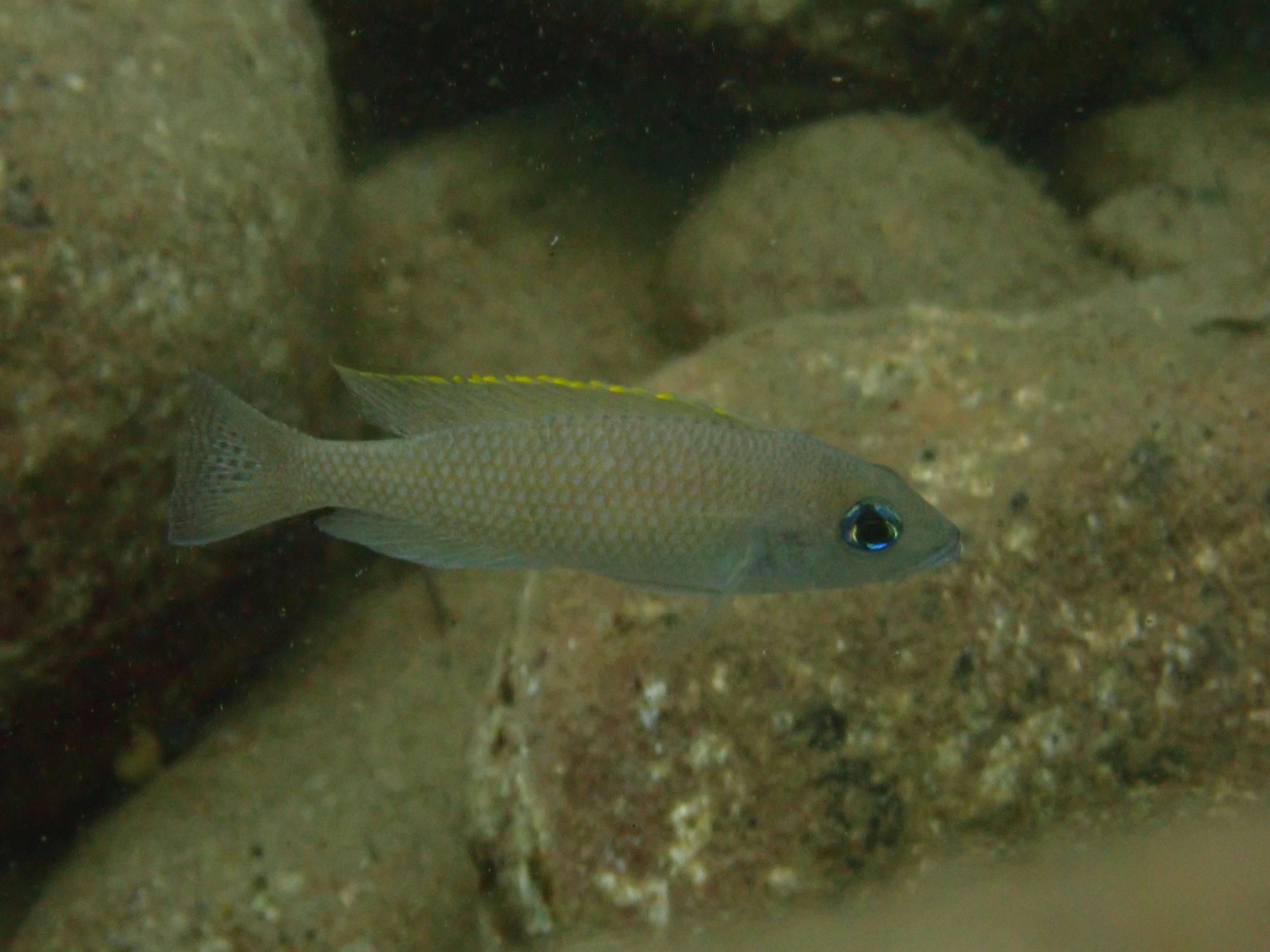 Neolamprologus caudopunctatus from Lake Tanganyika, Zambia (photo credit: Aneesh Bose)