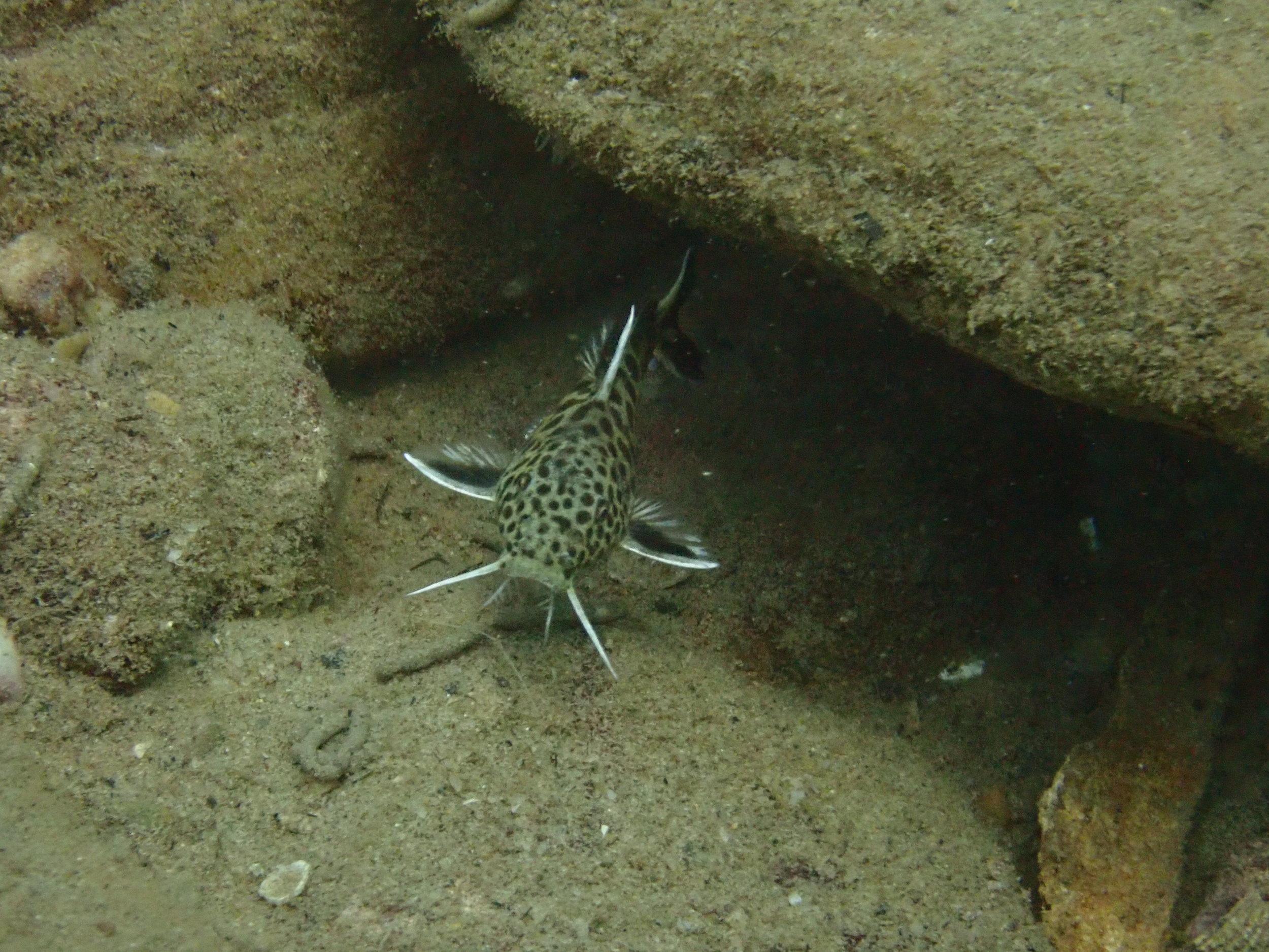 Synodontid catfish in Lake Tanganyika, Zambia (photo credit: Aneesh Bose)
