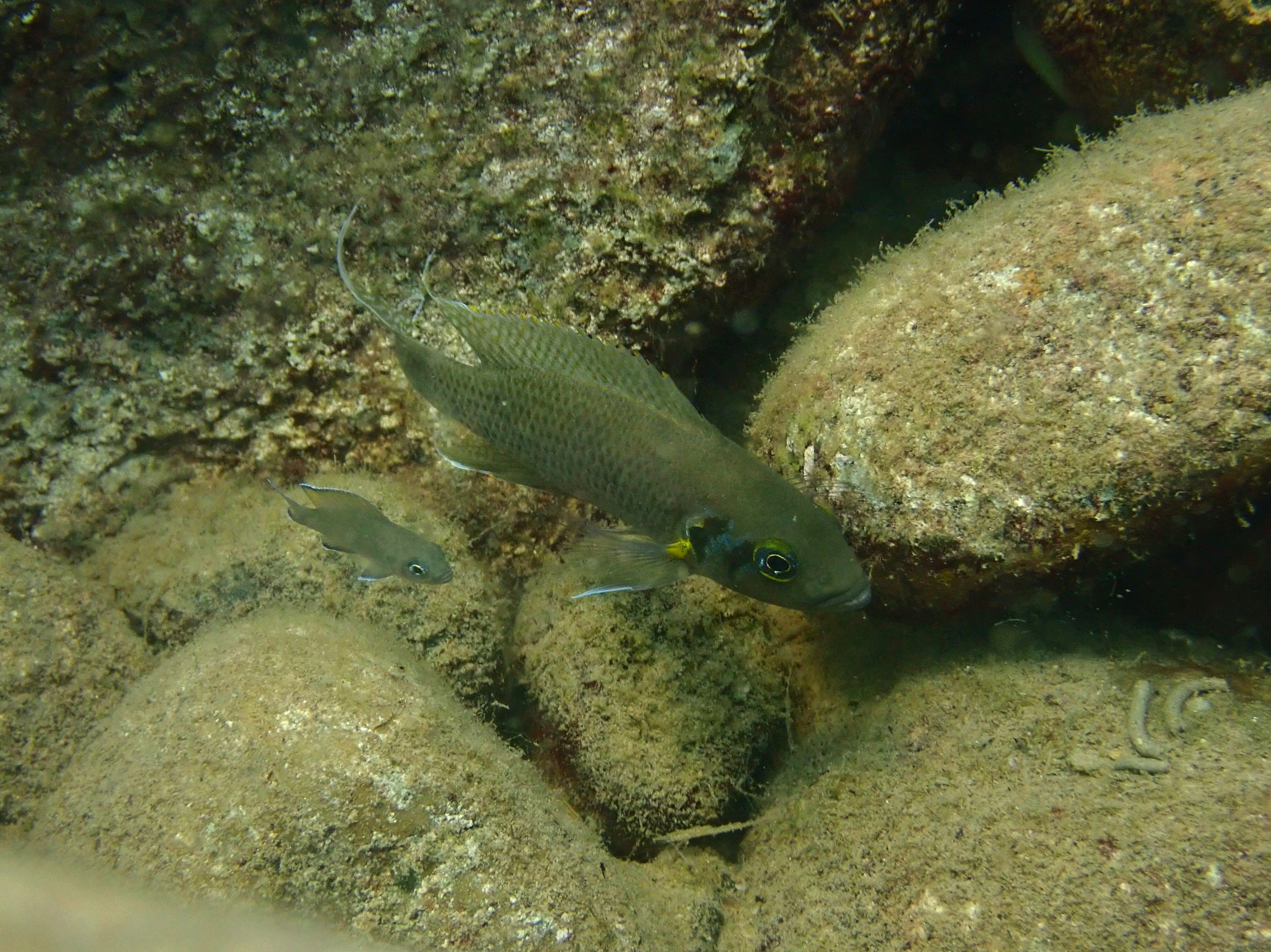Neolamprologus pulcher in Lake Tanganyika, Zambia (photo credit: Aneesh Bose)