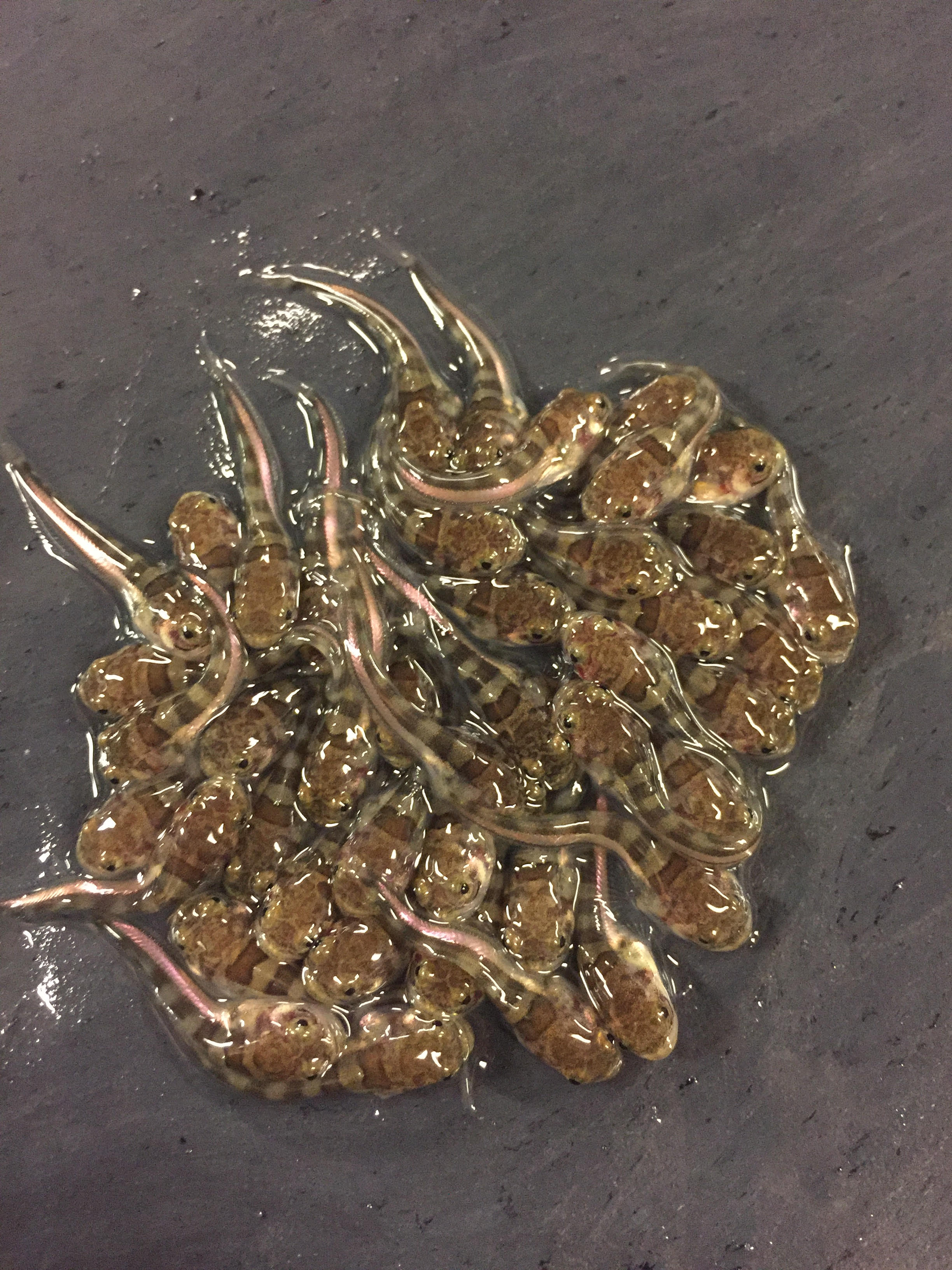 A brood of juvenile plainfin midshipman fish, approximately 2 months old, still attached to the nest surface via their yolk sacs (almost fully absorbed by now).