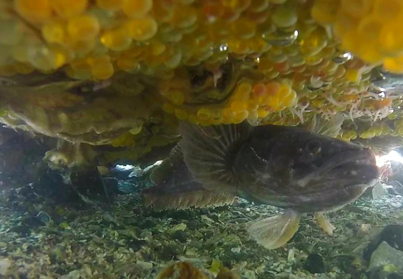 Male plainfin midshipman fish in the wild within his nest. Eggs are adhered to the nest roof (the underside of a large intertidal rock). (photo credit: Aneesh Bose)