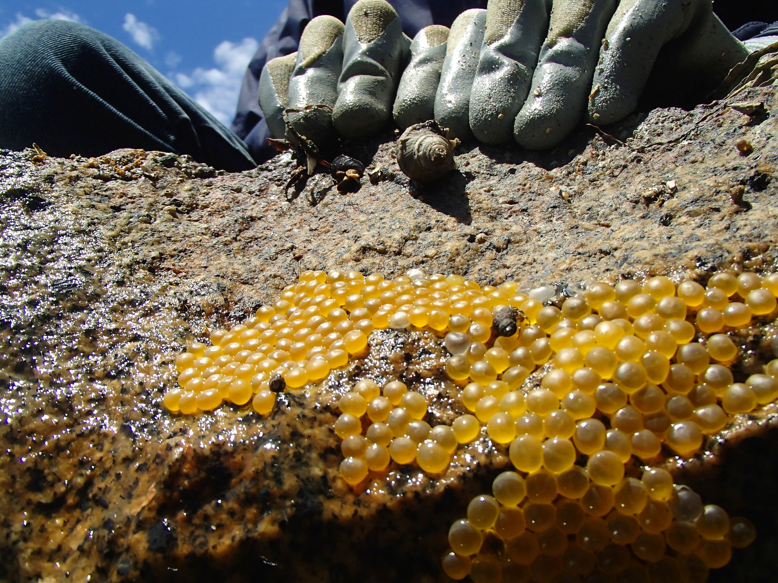"""Overturning an intertidal rock to uncover a plainfin midshipman nest with eggs. Photo taken from the """"fish's perspective""""."""
