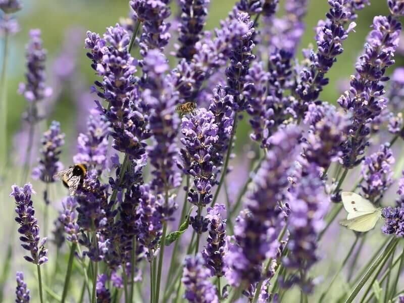 Verwonderend 22 Planten die Tegen Droogte kunnen [FOTO'S] — the Writing Gardener AQ-51