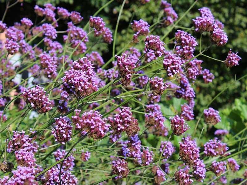 Hedendaags 22 Planten die Tegen Droogte kunnen [FOTO'S] — the Writing Gardener NM-07