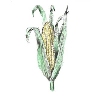 Corn Illustration.png