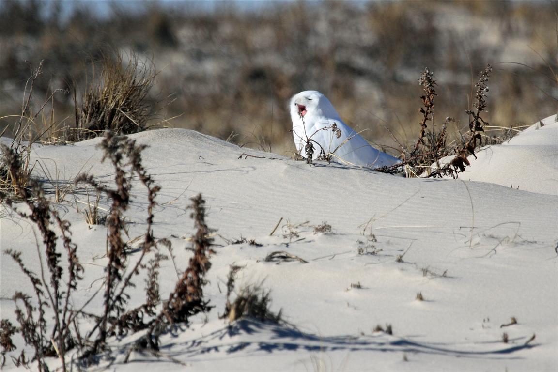 snowy owl Jones Beach 2012 by Orlando (Medium).jpg