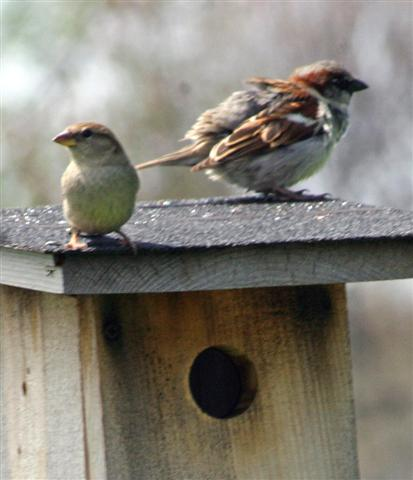 House Sparrows are a major reason for the decline of bluebirds.
