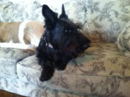 For those of you who don't know, this is a Scottish Terrier.