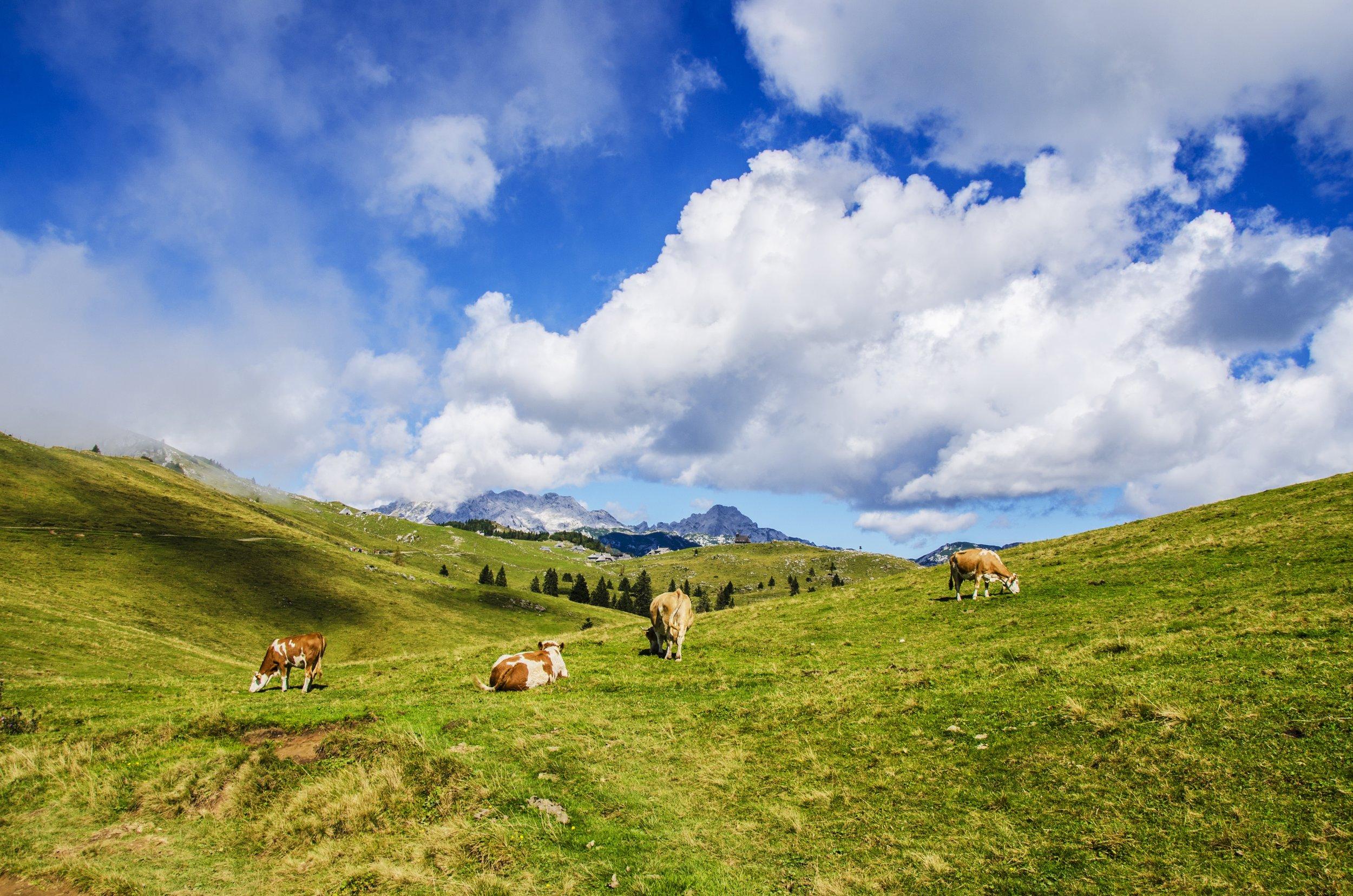 Cows grazing in green farm