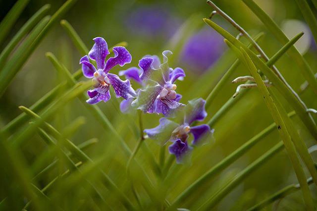 Singapore Orchid, 85mm 1/800s f1.8 ISO 100 #singapore #singaporebotanicgardens  #flowers #orchid #photooftheday #instagood #sony #sonyalpha #sonya7iii