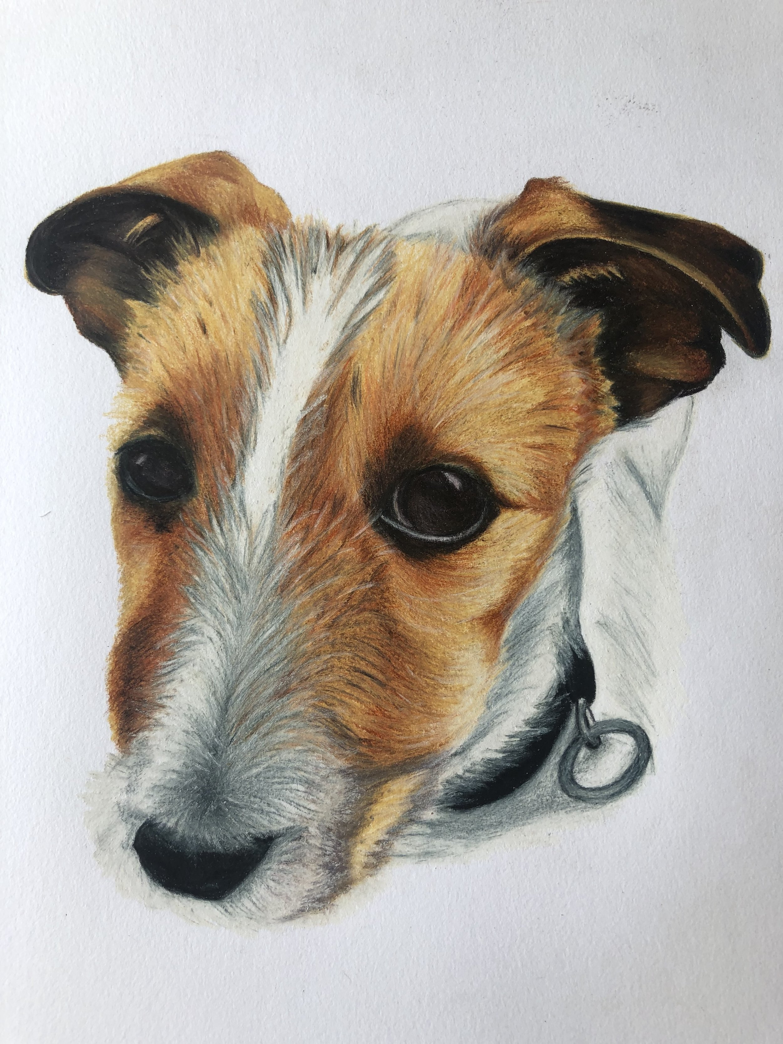 Drawing of Long Haired Jack Russell, Margot