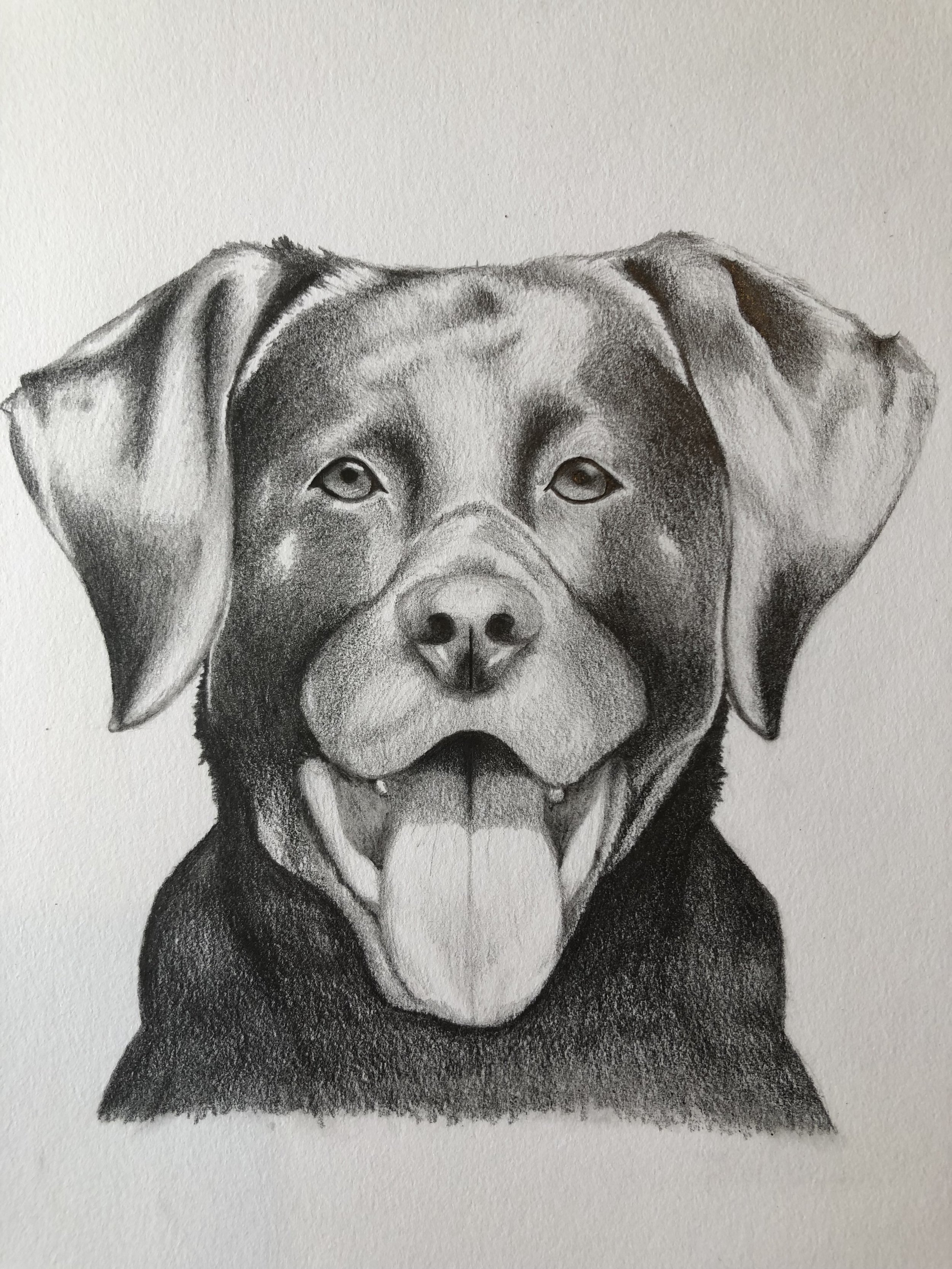 Drawing of our Labrador Logo, Milo