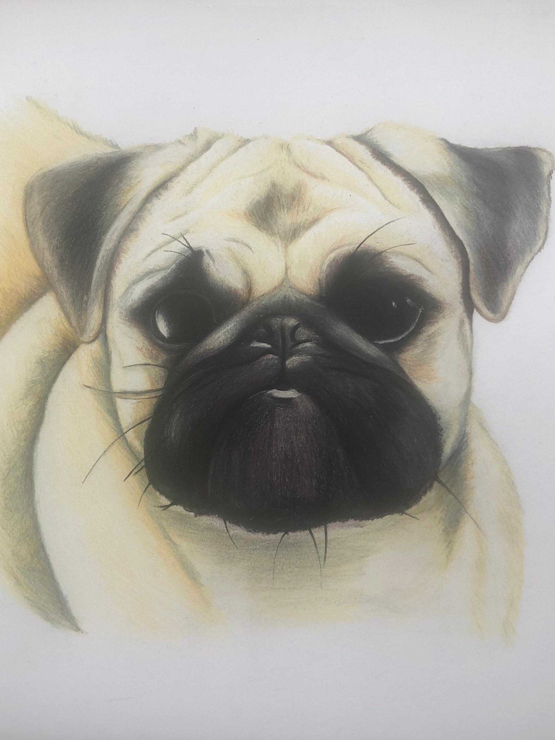 Drawing of Pug, Pig