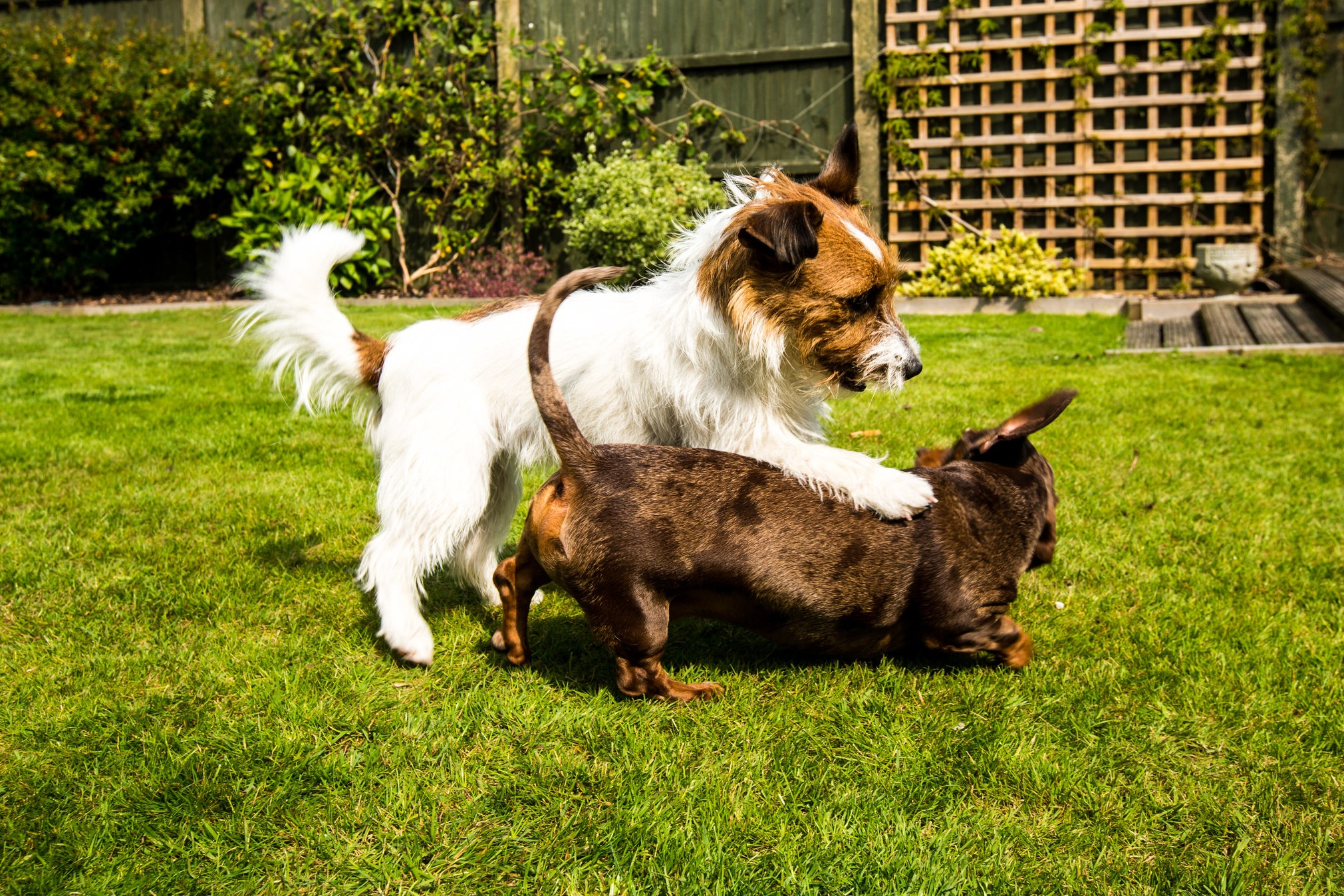 Margot the Long Haired Jack Russell and Dash the Miniature Dachshund playing in the garden.