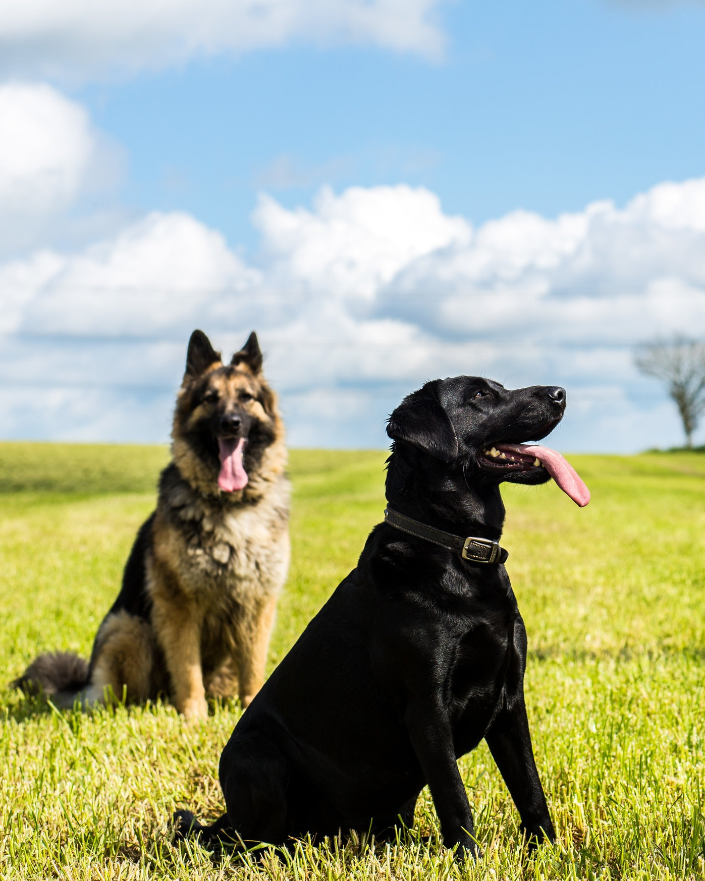 Beth the Black Labrador and Kikki the German Shepherd.