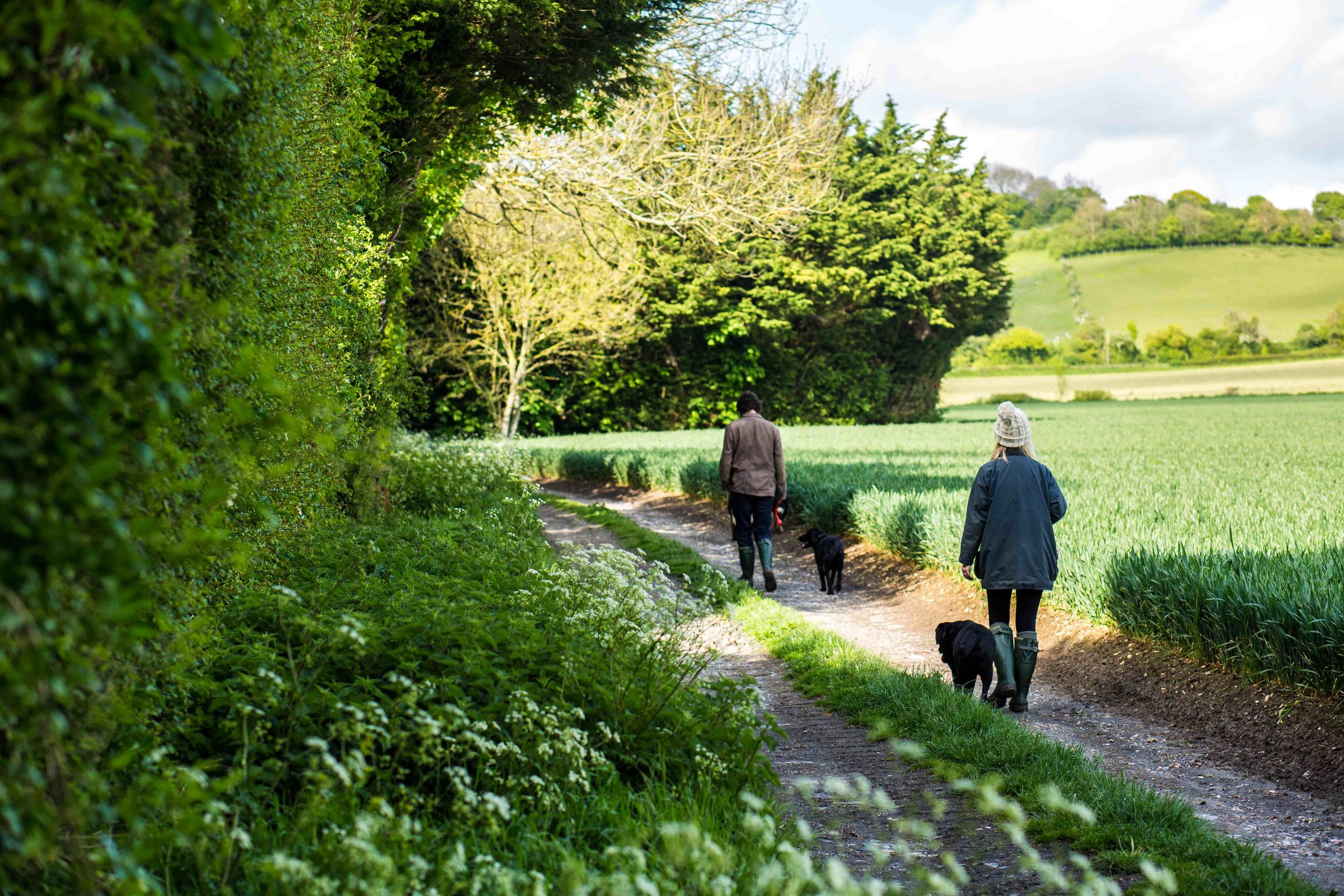 Dog walking in the local Kent countryside with two Black Labradors.