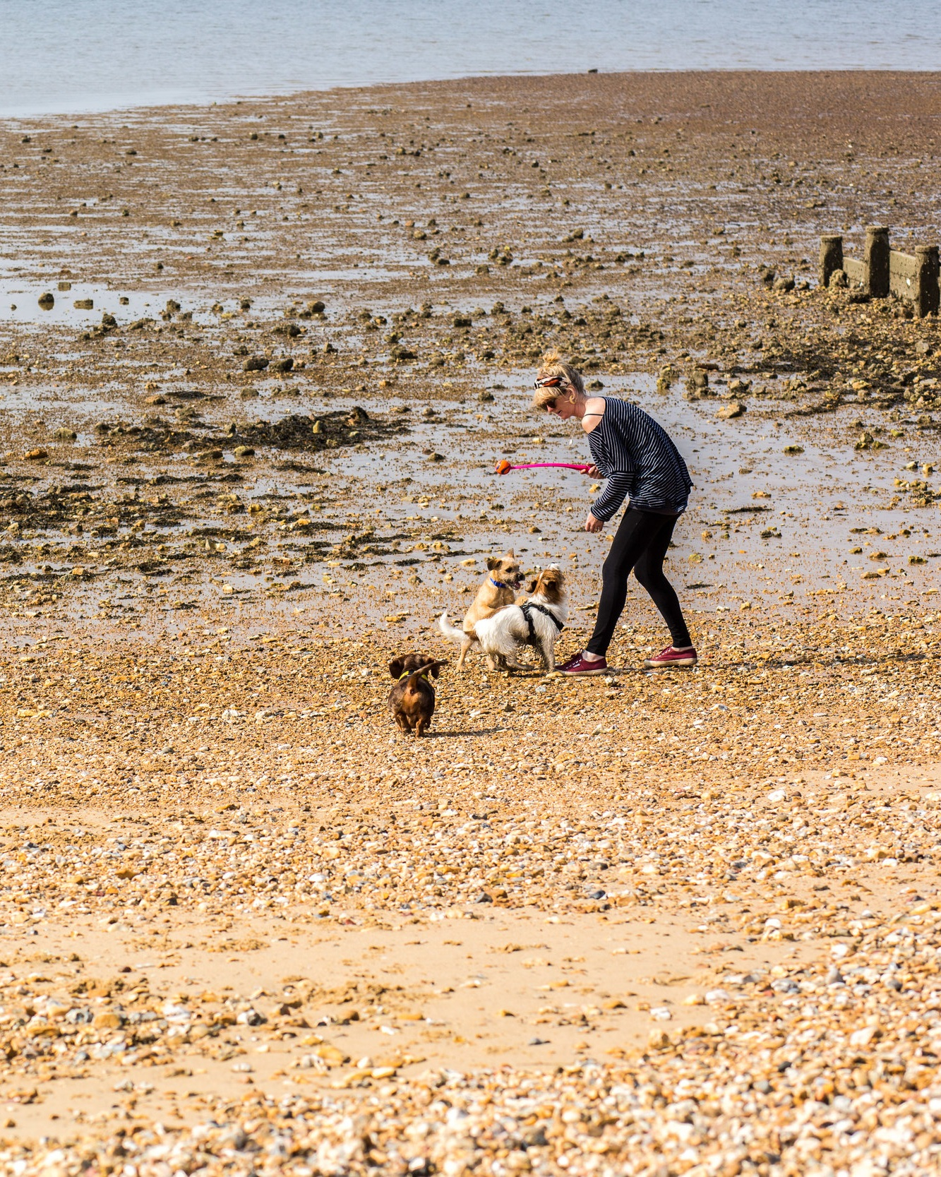 Dog+playtime+on+Whitstable+beach+with+a+Miniature+Dachshund%2C+Long+Haired+Jack+Russell+and+a+Terrier.jpg