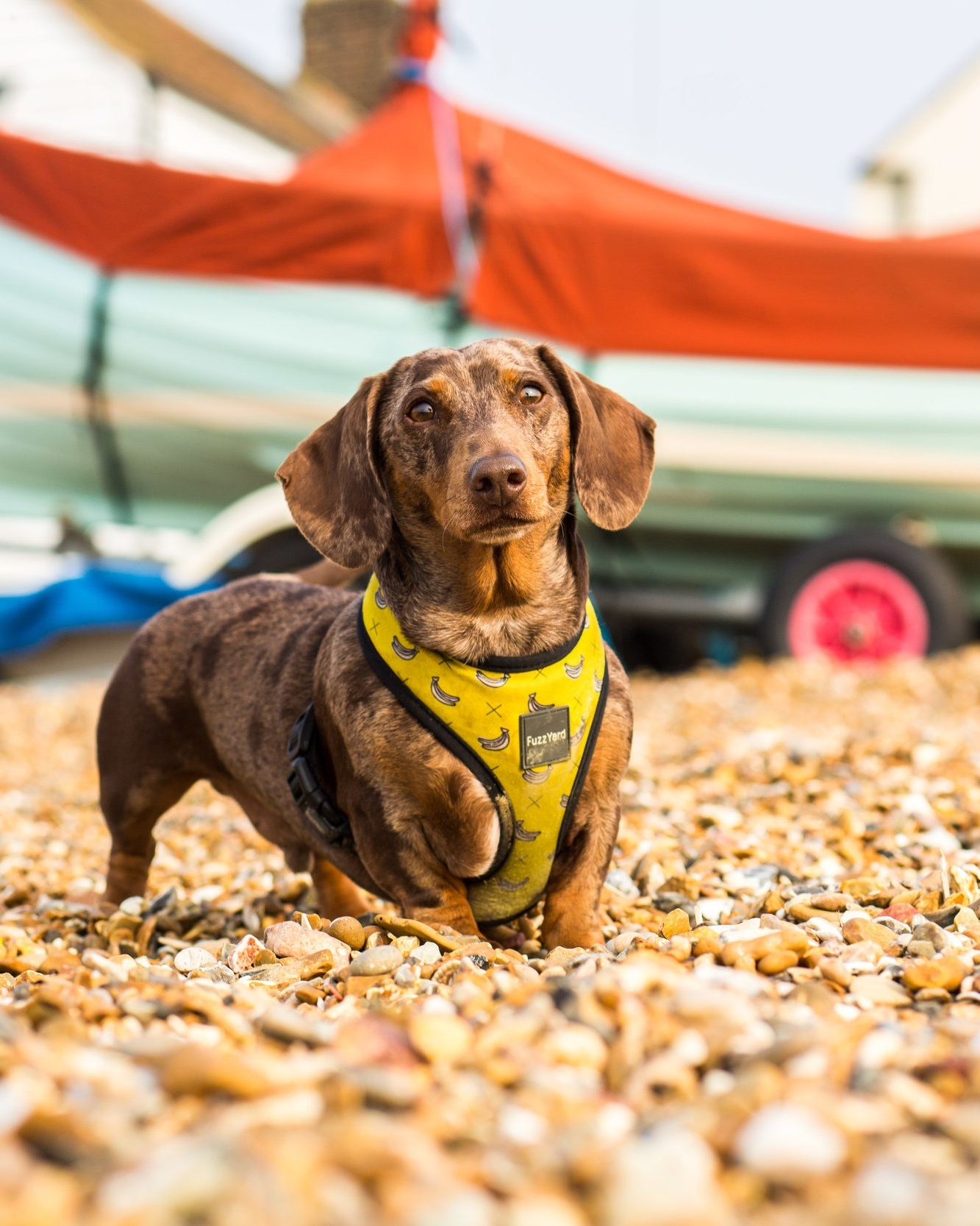 Dash%2Bthe%2BMiniature%2BDachshund%2Bplaying%2Bball%2Bon%2BWhitstable%2BBeach
