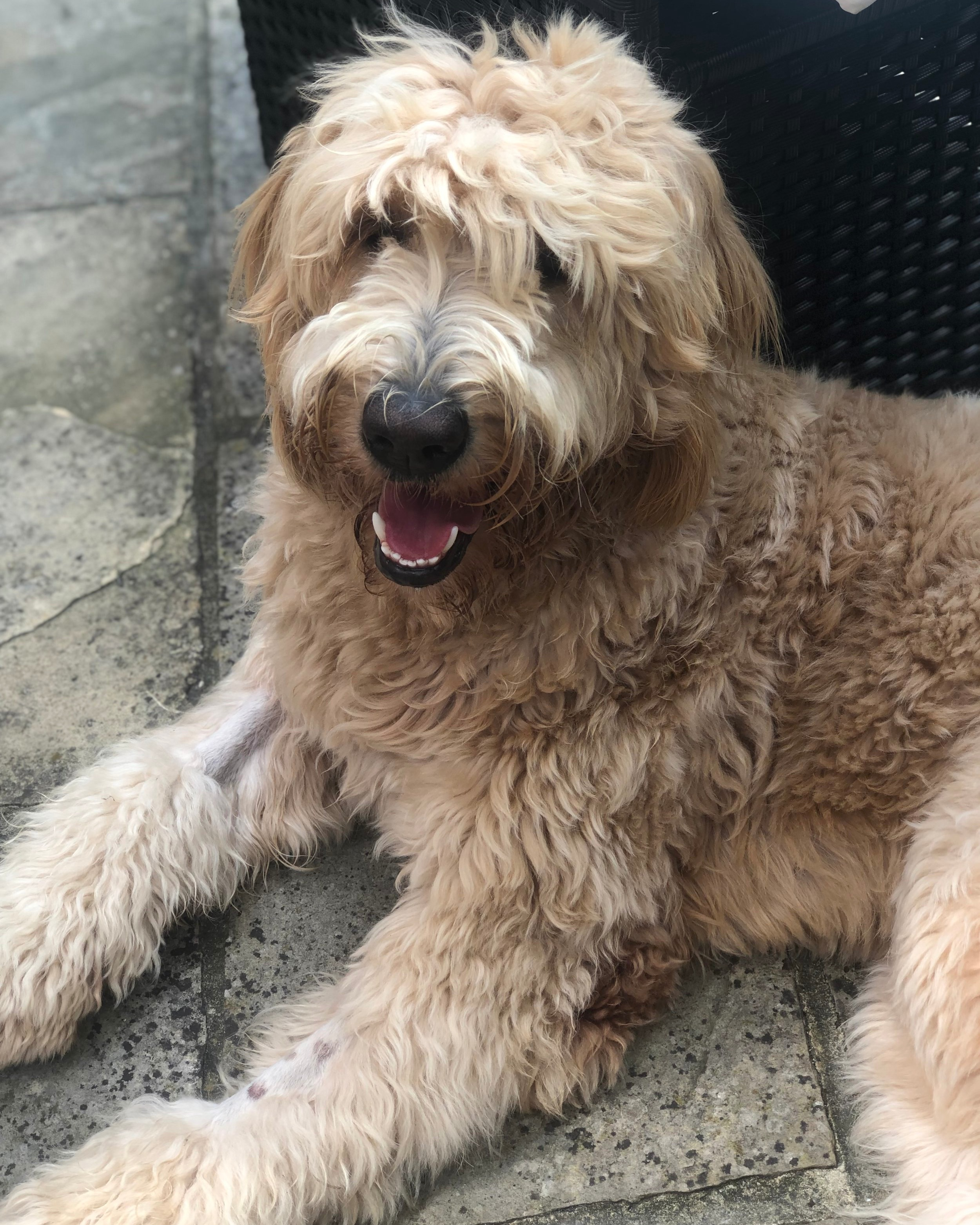 Barley the Goldendoodle