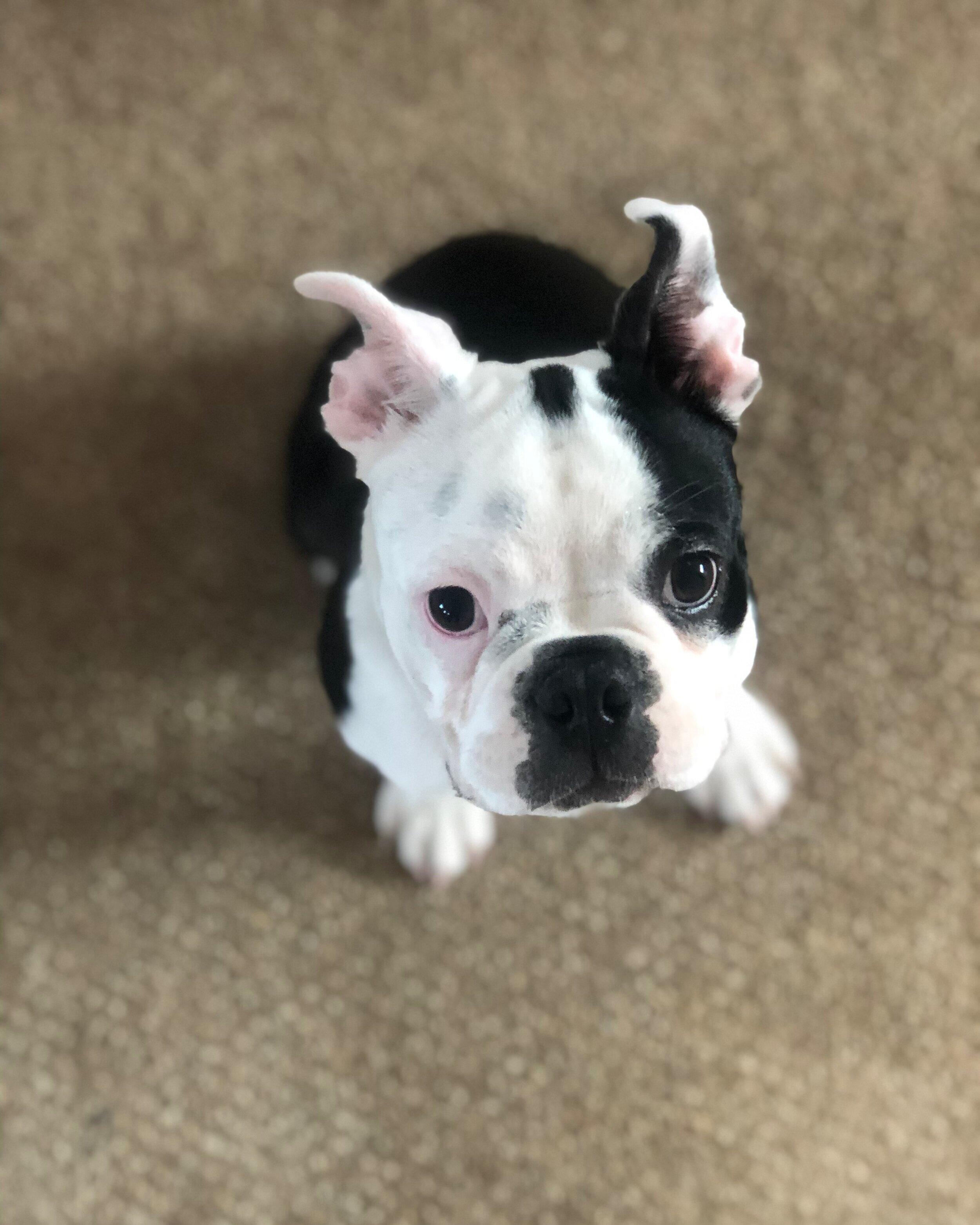 Pablo the Boston Terrier puppy