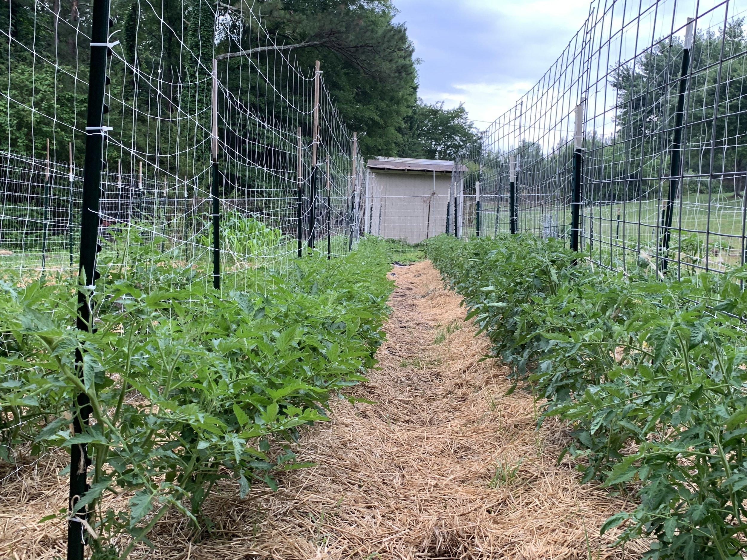 Tomato Field.jpg