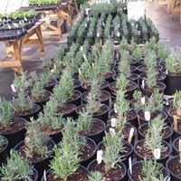 lavender site 5.jpg