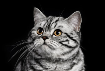 black white grey striped cat