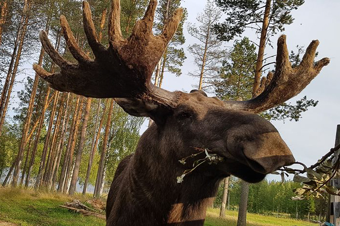 The Friendly Moose Övertorneå