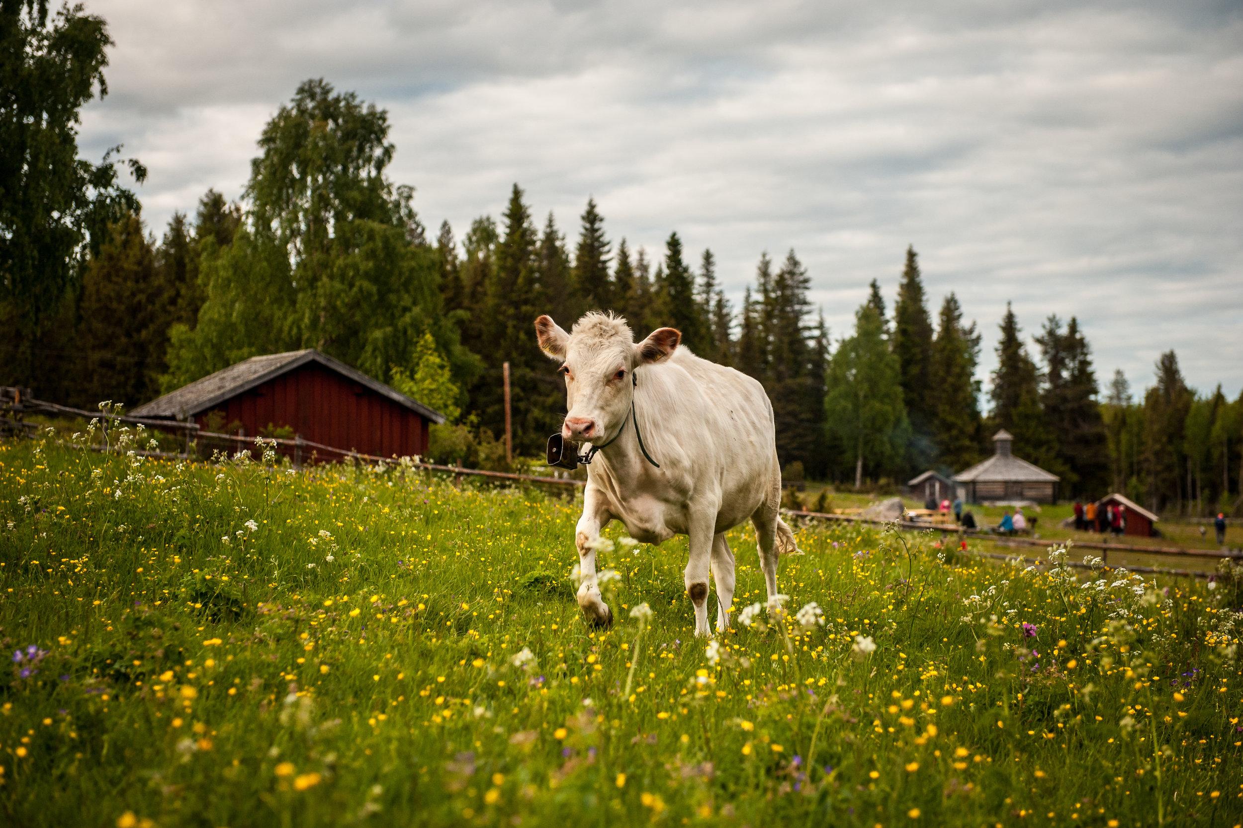 Hanhivittikko summer pasture Fäbod Övertorneå