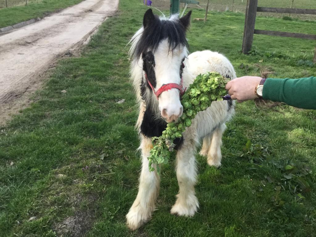 Sprout the Help for Horses UK rescue pony enjoying some fresh brussel sprouts
