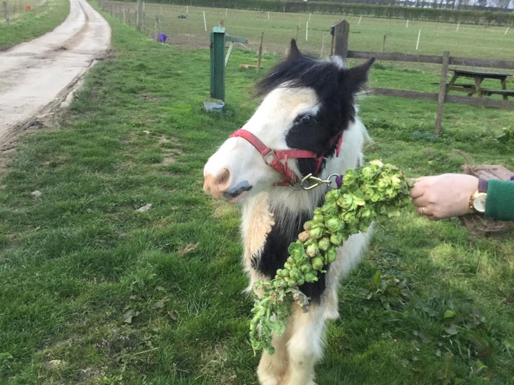 Sprout enjoying his sprouts at Help for Horses UK