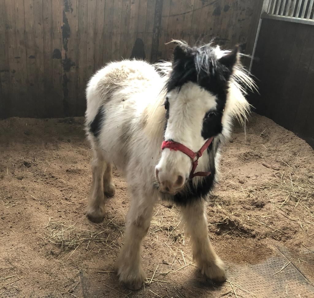 Sprout the Help for Horses rescue pony is now looking for his forever home