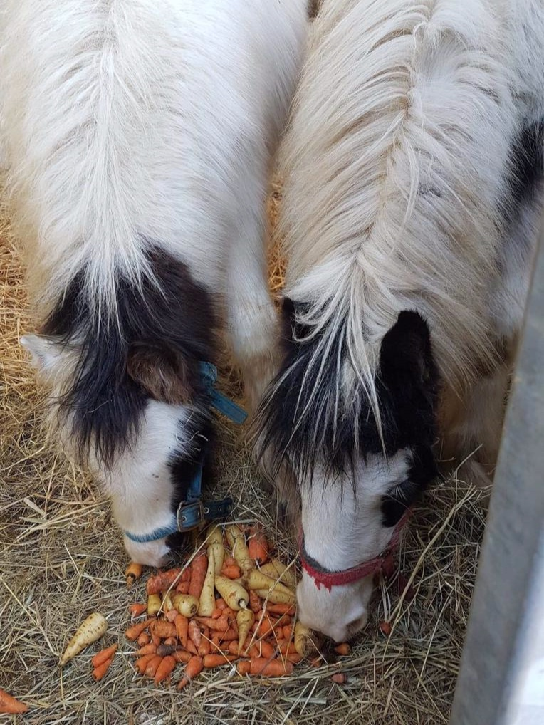 Squeak and Sprout enjoying some horse carrots