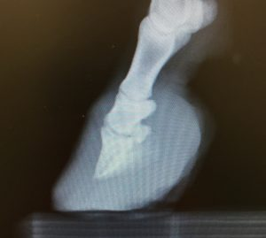 Xray showing badly overgrown front feet